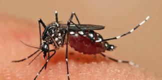 Zanzara febbre dengue