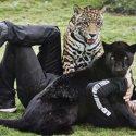 The Black Jaguar White Tiger Foundation: l'oasi dei felini