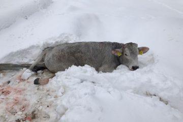 mucca ferita