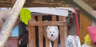 Oipa Prato cane volpino
