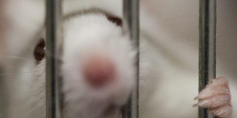Un topo in gabbia