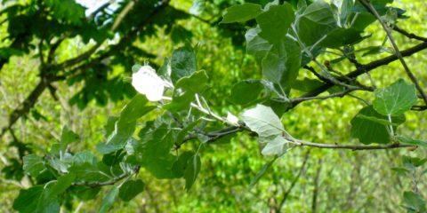 Foglie di pioppo bianco