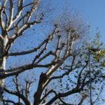 Troppi lampioni, gli alberi di Firenze restano verdi fino a gennaio
