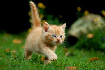 Gattino rosso per pezzo su serial killer dei gatti