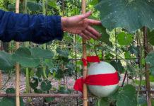 TuscanChinese gourd, Palermo 2018