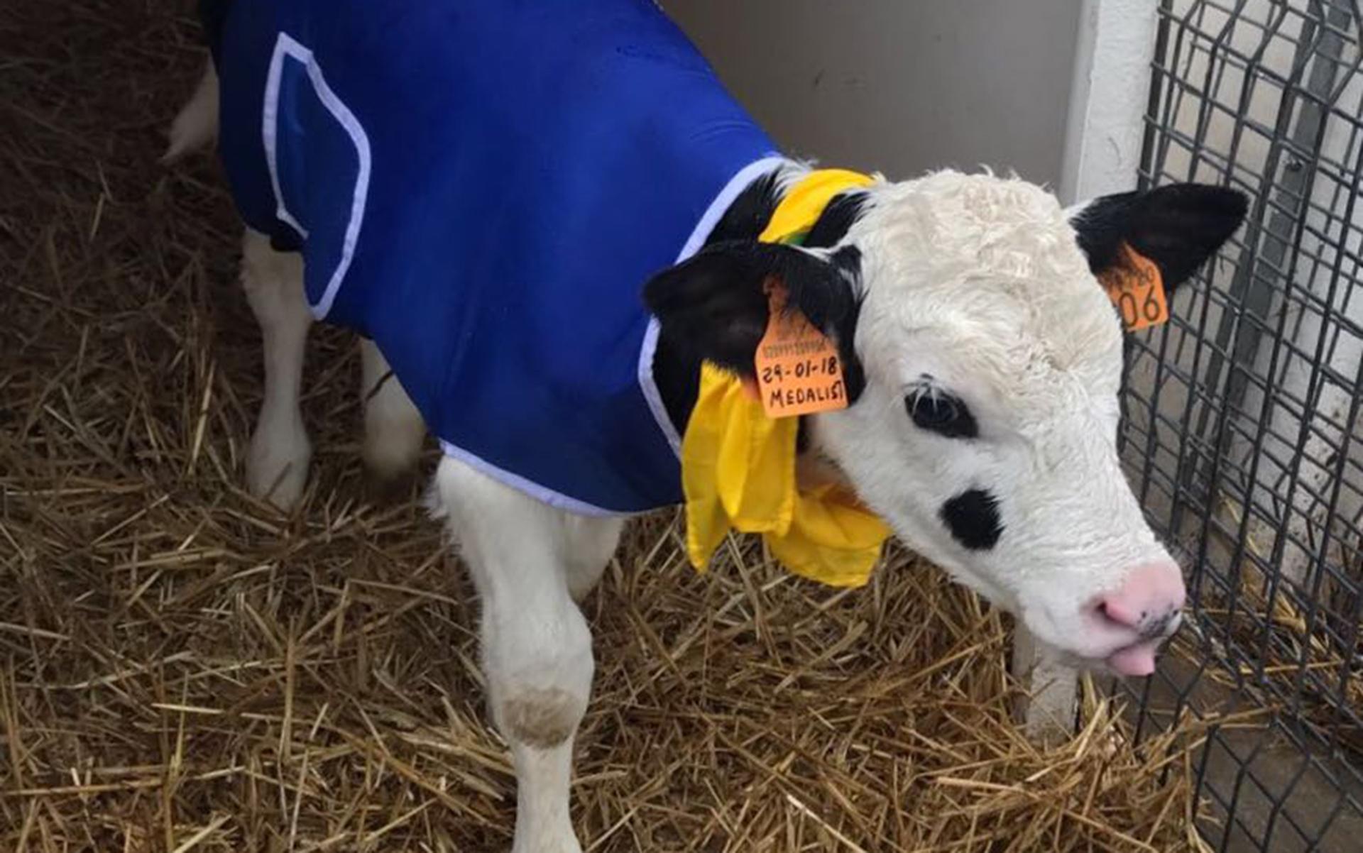 Mucca col cappotto