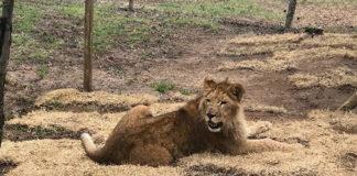 Uno dei leoni trasportati dalla Turkish Airlines
