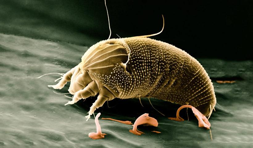 Un acaro della polvere al microscopio
