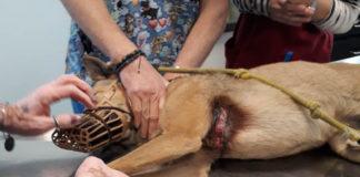 Cane ferito a Prato