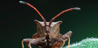 Un esemplare ingrandito di cimice asiatica attacca un pero