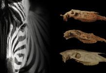 Un'immagine con una figura di zebra e alcuni teschi
