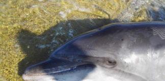 Delfino spiaggiato a San Vincenzo