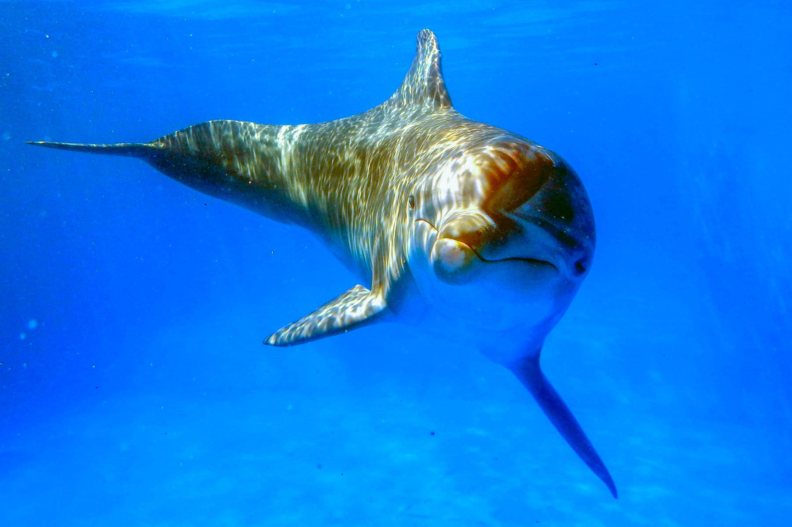 Delfino tursiops truncatus