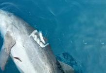 Delfino morto alla deriva Livorno