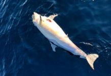 Un delfino morto alla deriva