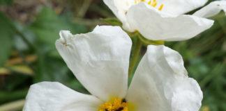 ranno delle Apuane (Atadinus glaucophyllus), fotografato sul Monte Borla (Alpi Apuane) - particolare