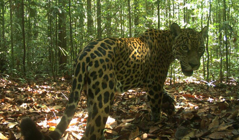 giaguaro - Brasile
