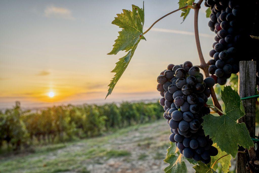 Vigneto e grappoli d'uva