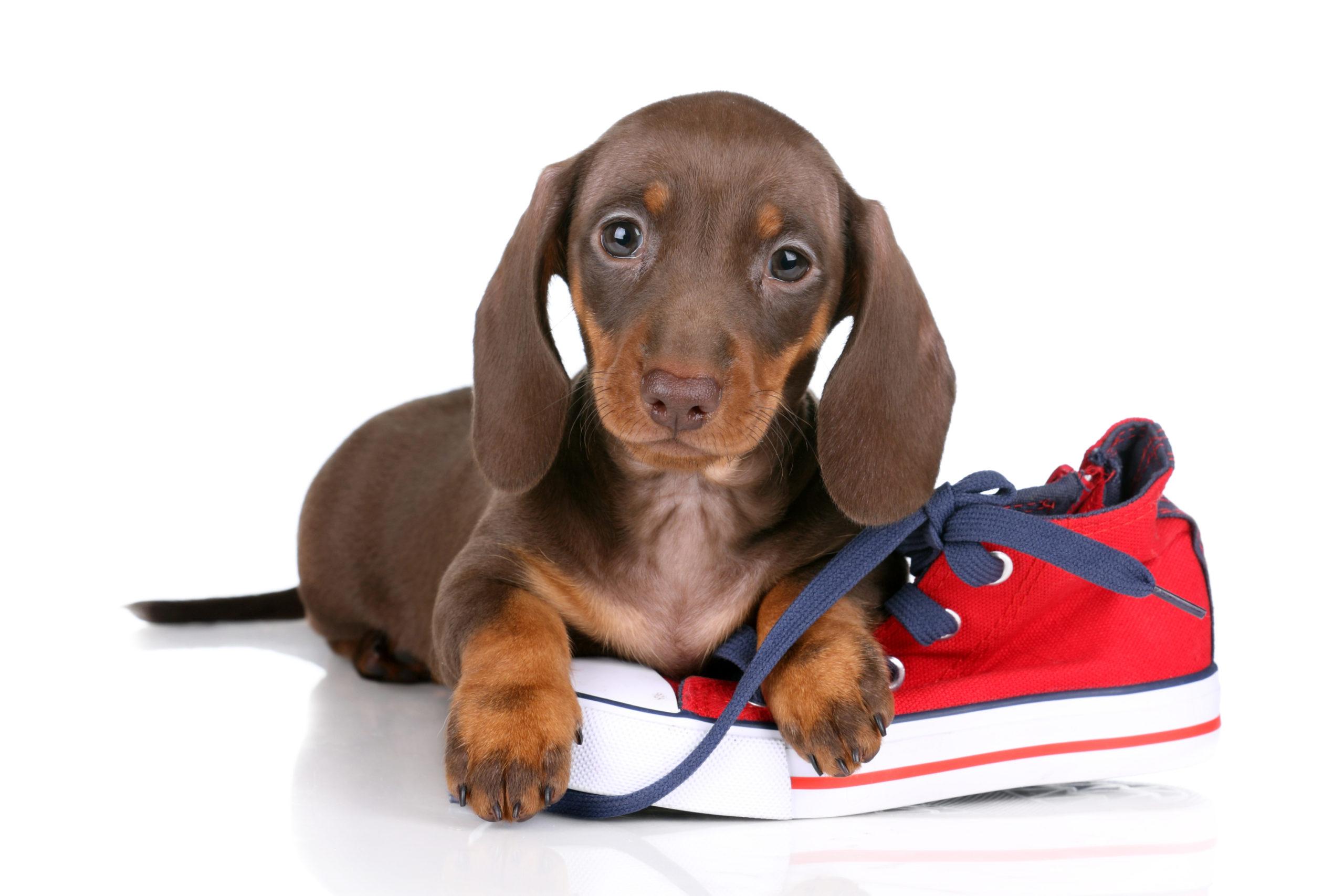 Cane con una scarpa