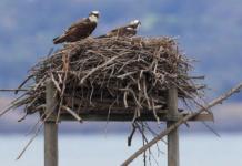 Il nido di falco pescatore di Orbetello