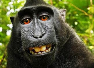 Il famoso selfie di un macaco