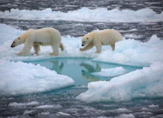 Orsi polari sui ghiacci