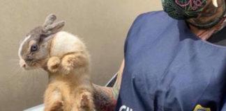 Il coniglio domestico con la guardia zoofila earth