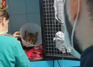 La volpe foxy salvata dalla polizia stradale sul grande raccordo anulare