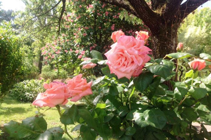Le rose del Giardino dei Semplici a Firenze