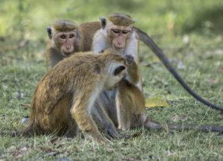 Una famiglia di macachi (Wikipedia)