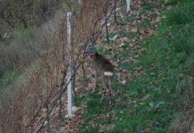 Il maschio di capriolo M9 marcato con collare satellitare e marca auricolare.