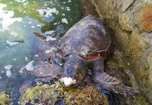 Tartaruga morta