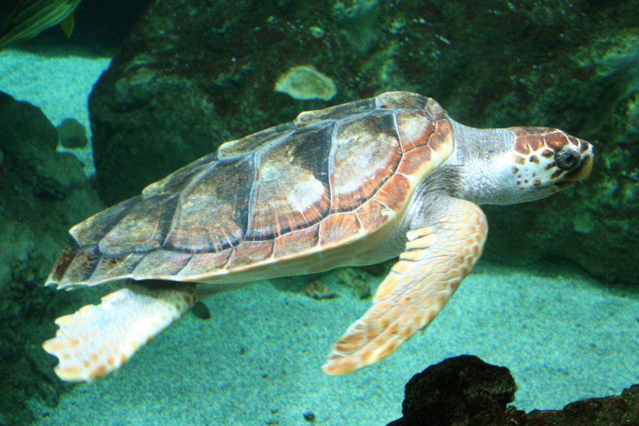 Caretta caretta da Wikipedia