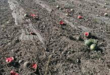 Cocomeri rovinati dal caldo