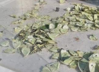 Farfalle morte a Firenze
