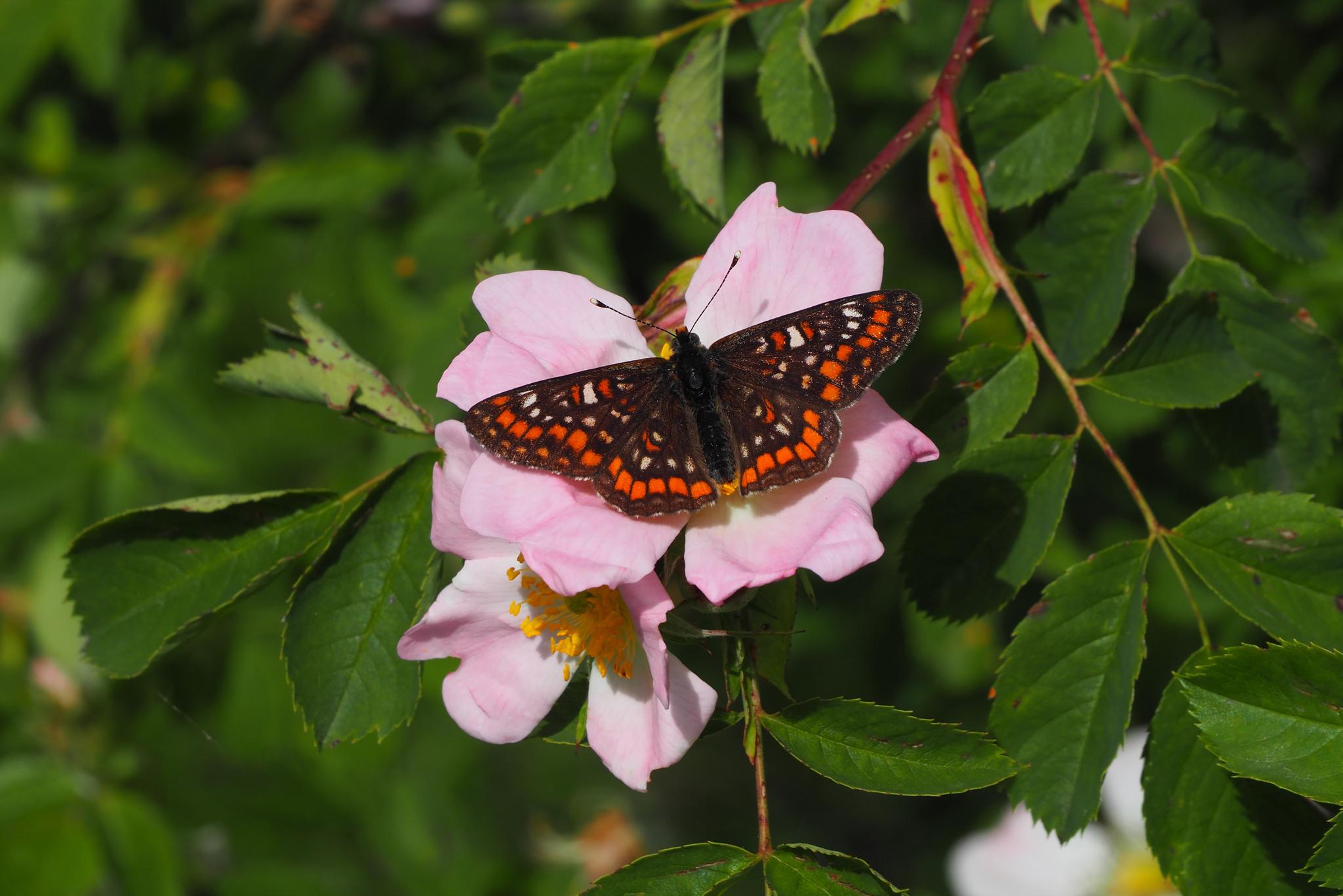 Euphydryas maturna liebele