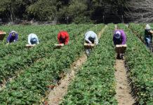 Stranieri al lavoro in un campo